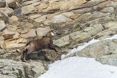 Chamois deer in the rocks background Royalty Free Stock Photography