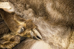 Chamois deer skin Stock Images