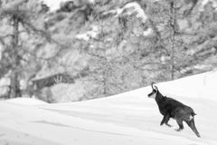 Chamois deer in the snow background in b&w Stock Image