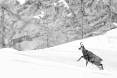 Chamois deer in the snow background in b&w Royalty Free Stock Image
