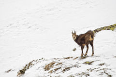 Chamois deer in the snow background Stock Images