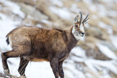 Chamois deer in the snow background Royalty Free Stock Photo