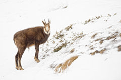 Chamois deer in the snow background Stock Photo