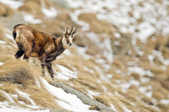 Chamois deer in the snow background Stock Image
