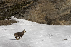 Chamois deer in the snow background Stock Photos