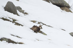 Chamois deer in the snow background Stock Photography