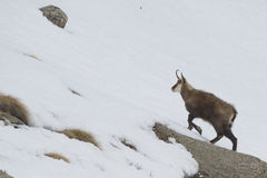 Chamois deer in the snow background Royalty Free Stock Images