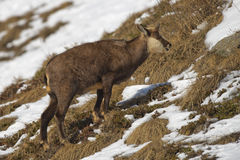 An  chamois deer in the snow background Royalty Free Stock Image