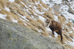 An  chamois deer in the snow background Stock Images