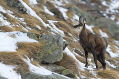 An  chamois deer in the snow background Royalty Free Stock Photos