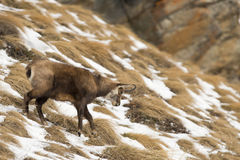 An  chamois deer in the snow background Royalty Free Stock Photography