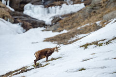 Chamois deer on snow portrait Royalty Free Stock Images