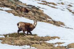 Chamois deer on snow portrait Royalty Free Stock Photography