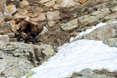 Chamois deer on snow portrait Royalty Free Stock Image