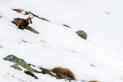 Chamois deer on snow portrait Royalty Free Stock Photos