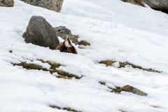 Chamois deer on snow portrait Stock Image