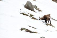 Chamois deer on snow portrait Royalty Free Stock Photo