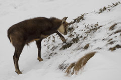 An  chamois deer in the snow Stock Image