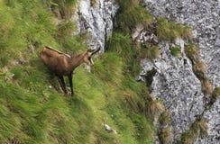 Chamois descending on a mountain Royalty Free Stock Photo