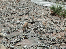 Chamois drink on stream in himalaya Royalty Free Stock Photos