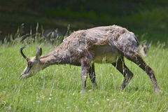 Chamois eating grass Royalty Free Stock Images