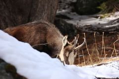 Chamois eating and looking at me. Chamois Rupicapra rupicapra in Valnontey, Aosta Valley, Italy Stock Photos