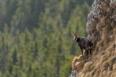 Chamois on edge of cliff stock photo