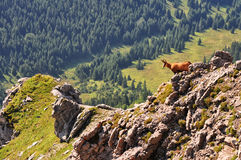 Chamois en montagnes slovaques haut Tatras Image stock