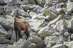 Chamois en parc national Photographie stock