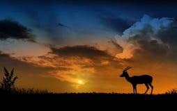 Chamois et coucher du soleil Photo stock