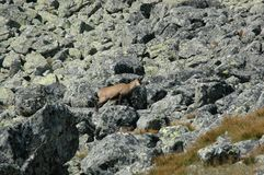 Chamois in the field stock photo