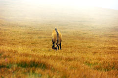 Chamois in the fog on a mountain meadow Royalty Free Stock Images
