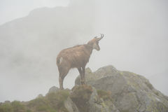 Chamois in fog in Tatra mountains Stock Images
