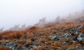 Chamois on the foggy day Stock Photography