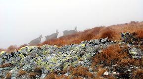 Chamois on the foggy day Stock Images