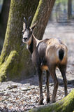 Chamois in the forest Stock Photos
