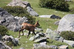 Chamois galloping in a meadow Royalty Free Stock Image