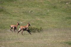 Chamois galloping in a meadow Royalty Free Stock Photography