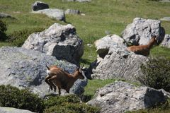 Chamois galloping in a meadow Royalty Free Stock Images