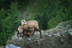 Chamois goat  feeding her youngster. Rupicapra ; wild animals in natural habitat, Ceahlau mountains, Romania Stock Images