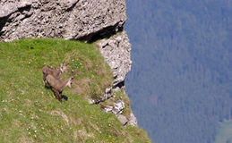 Chamois goat in nature Stock Photography