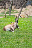 Chamois goat in zoo Stock Images