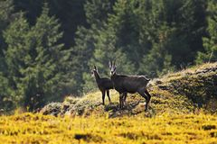 Chamois goats in natural environment Royalty Free Stock Photos