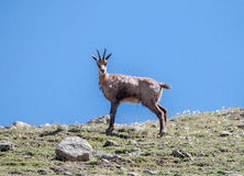 Chamois in Gran Paradiso Park Royalty Free Stock Images