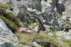 Chamois on the grass Stock Images