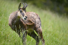 Chamois in the grass Stock Photography