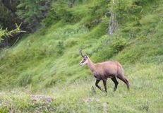 Chamois grazing meadows with grass in summer Stock Image