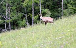 Chamois grazing meadows with green grass in summer Royalty Free Stock Image