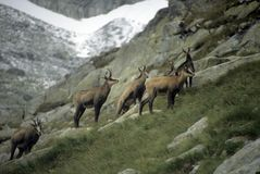Chamois herd Royalty Free Stock Images