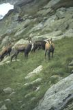 Chamois herd. Chamois, High Tatras[Rupicapra rupicapra] Mountains,Czechoslovakia, Slovakia stock photos